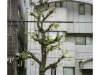 2019n022_02, Ginkgo Biloba Trees, Tiled Building, Business District, Nakagyo Ward, Kyoto, Japan.jpg