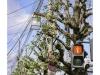 2019n022_09, Ginko Biloba Tree With Stop Sign, Saitocho District, Kyoto, Japan.jpg