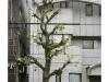 2019n022_02, Ginkgo Biloba Trees, Tiled Building, Business District, Nakagyo Ward, Kyoto, Japan.jpg
